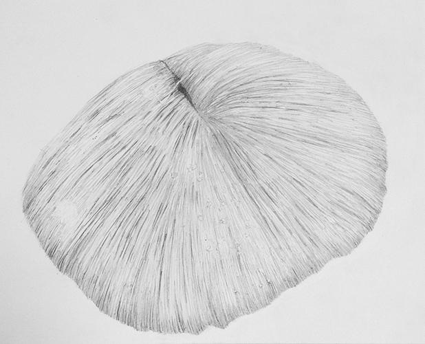 Ariena Roode, Ossa, teken en snijwerk op papier, 20 x 25,5 cm, € 275,-